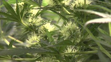 【加州十大新闻之六】娱乐大麻合法化 加州变麻州?家长忧