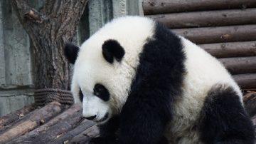 美第一夫人餵食大熊貓  熊貓表現溫順伸爪互動