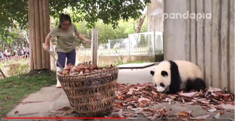 太逗了!飼養員智鬥調皮熊貓寶寶(視頻)