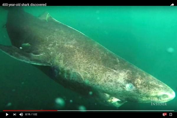 """北大西洋发现""""超高龄""""母鲨 初估可能有512岁"""