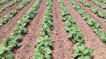 小黄瓜三四月份种植 五月初收成