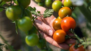 番茄倒著种再也吃不完 台湾大妈超会种(视频)