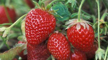 草莓倒著种 再也吃不完(视频)