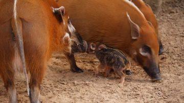 非洲野猪宝宝休斯顿动物园首亮相