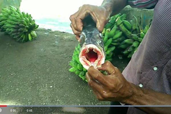 印尼居民抓到怪魚 長著像人類的牙齒(視頻)