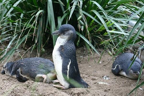 """气候异常""""小蓝企鹅""""大量陈尸新西兰海边"""