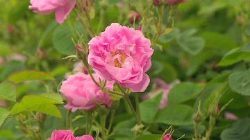 香奈儿五号受捧近世纪 五月玫瑰有功劳
