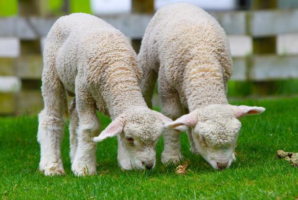我娘不会偷你的羊