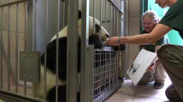 新聞放輕鬆:會作畫的熊貓 超萌獵豹寶寶