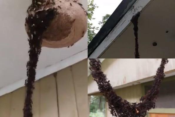 慎入!百萬螞蟻肉身築橋 攻進蜂巢偷吃(視頻)