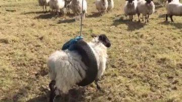 想盪鞦韆? 英國綿羊卡輪胎用力掙脫卻變鐘擺