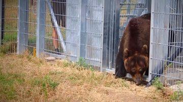 當17年「活展品」 北海道棕熊飛越近9000公里首次走出籠外