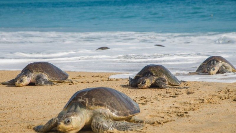 墨西哥海滩惊现113只海龟遗体 部分出现伤痕