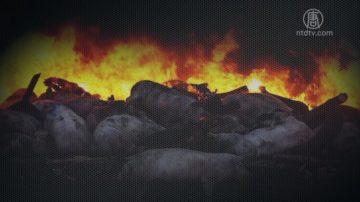 【微视频】大陆到底有没有猪瘟?来源呢