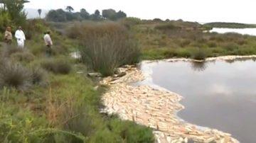 加州潟湖變魚湯 2000多條魚熱死水面