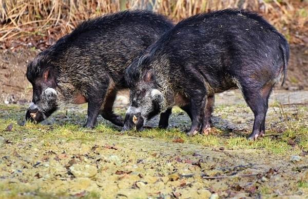比利时发现首例非洲猪瘟 法国加强戒备