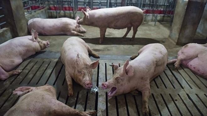 陸專家:非洲豬瘟肆虐大半中國 當局嚴禁洩密