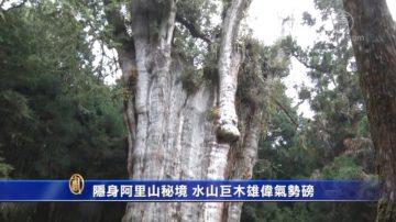 隐身阿里山秘境 水山巨木雄伟气势磅礡