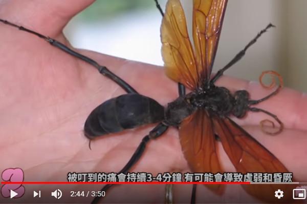 世界上最痛的昆虫叮咬 看到赶快离开(视频)