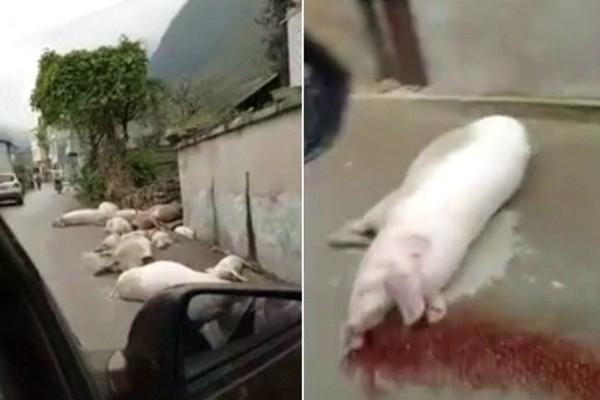 大陆猪瘟疫情失控 满地吐血病死猪视频疯传(视频)
