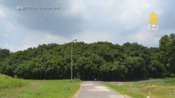 逃過2次氣旋襲擊 印度大榕樹比足球場還大