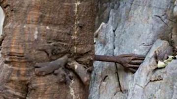 雲南千年菩提樹長出「手」 五指分明緊攀岩縫