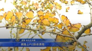 大崙山茶园银杏森林 秋冬变装秀上场
