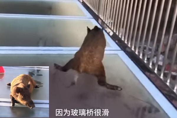 野猪误闯高空玻璃天桥 吓劈叉(视频)