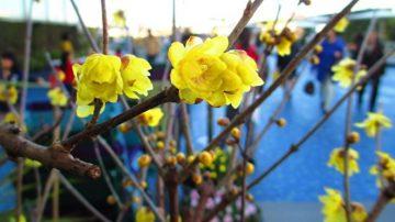 小寒節氣到 梅花滿天涯