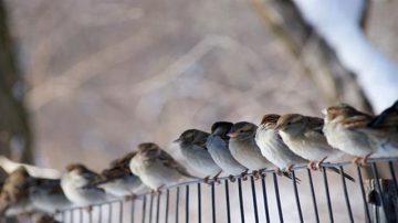 禾花雀瀕臨滅絕  快被中國人吃光