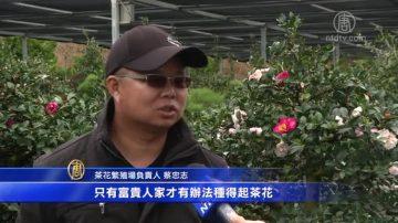 过年赏茶花 台湾新竹最大种植区