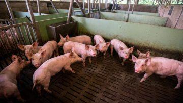 【禁聞】中國非洲豬瘟已過? 民眾:只是被隱瞞
