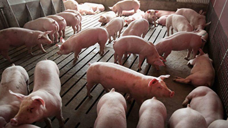 北京对美国猪课征关税62% 中国人仍狂买