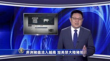 【微視頻】非洲豬瘟流入越南 加美禁大陸豬製品