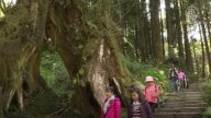漫遊阿里山 拜訪千年紅檜巨木群