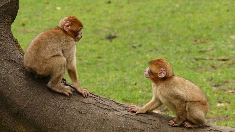 中共科研者將人類基因植入猴腦 科學界嘩然