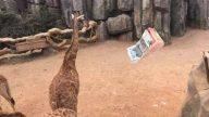 中國土豪撒萬元鈔票餵鹿 長頸鹿「視金錢如糞土」